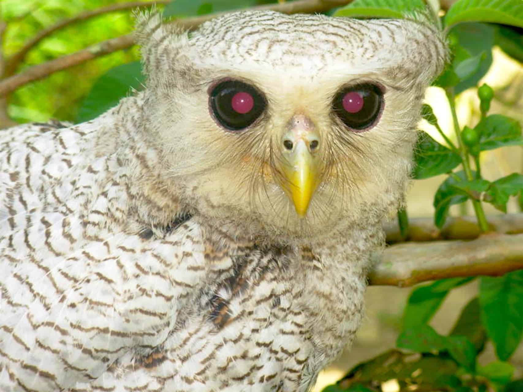 OWL IN GUNUNG LEUSER NATIONAL PARK - BUKIT LAWANG JUNGLE TREKKING BY SUMATRA ECOTRAVEL
