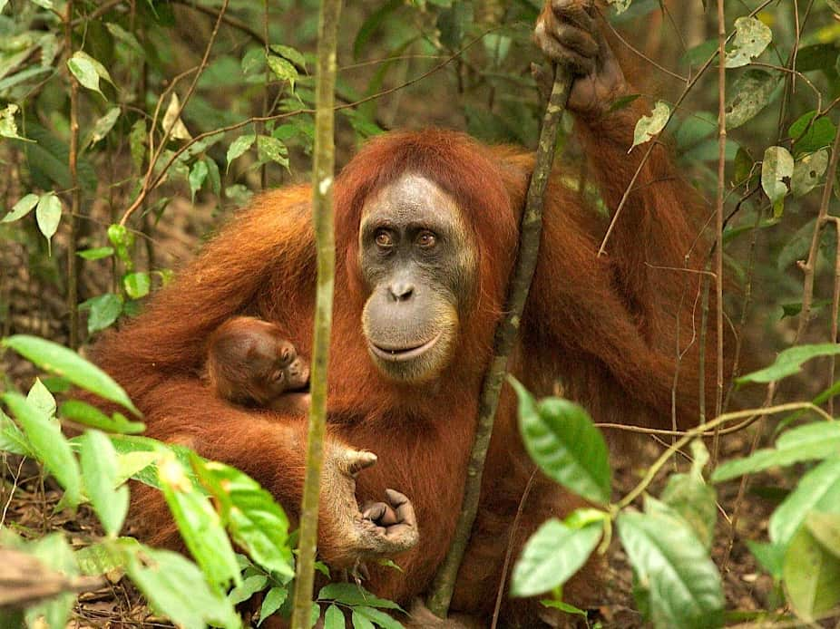 SUMATRAN ORANGUTAN WITH BABY - BUKIT LAWANG JUNGLE TREKKING BY SUMATRA ECOTRAVEL