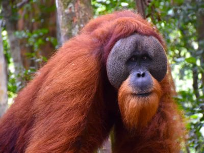 MALE ORANGUTAN - JUNGLE TREKKING - BUKIT LAWANG - SUMATRA ECOTRAVEL