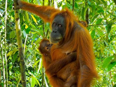 ORANGUTAN MINA WITH BABY - JUNGLE TREKKING - BUKIT LAWANG - SUMATRA ECOTRAVEL