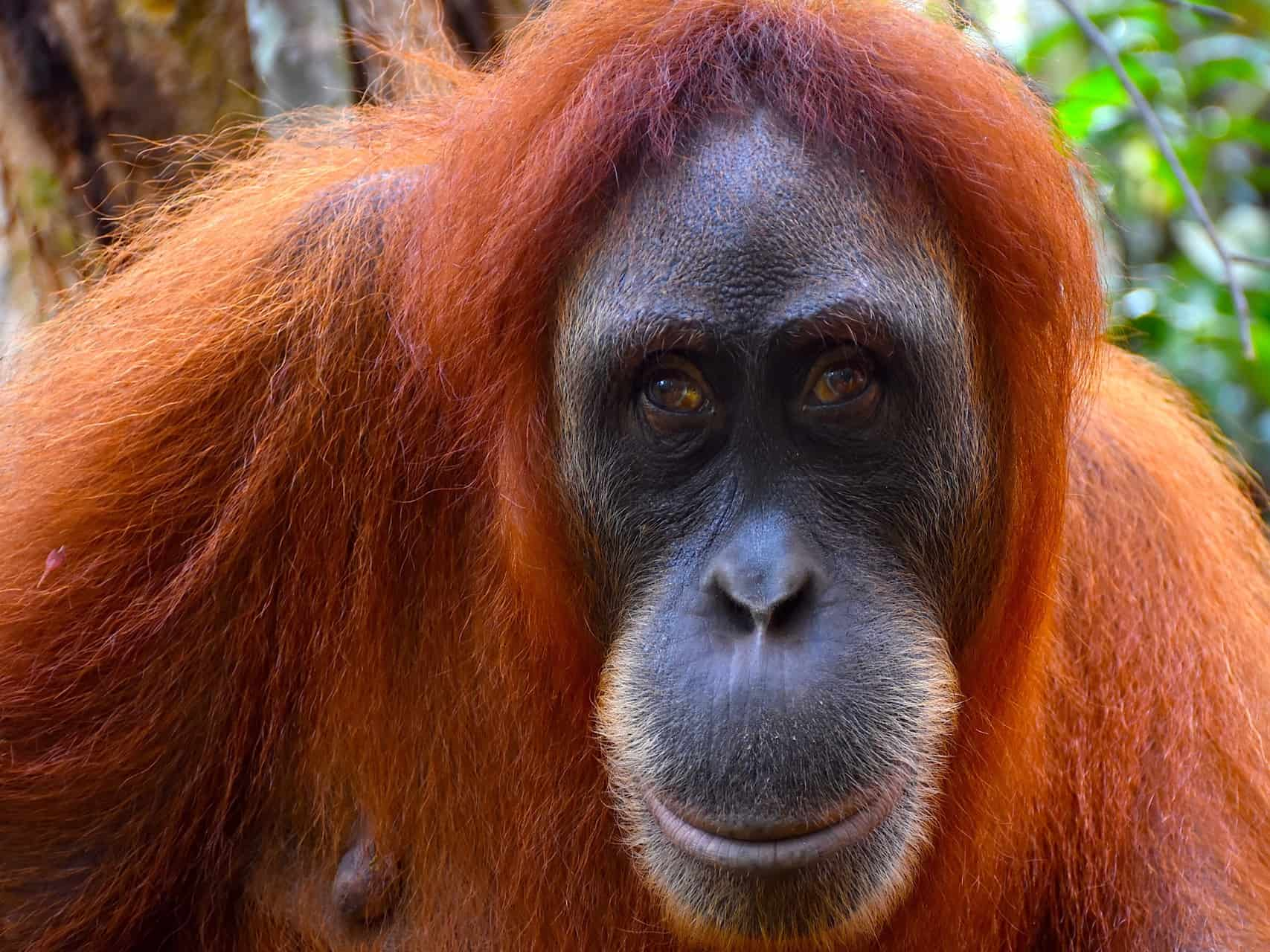 SUMATRAN ORANGUTAN FEMALE - BUKIT LAWANG JUNGLE TREKKING - SUMATRA HIGHLIGHT BY SUMATRA ECOTRAVEL
