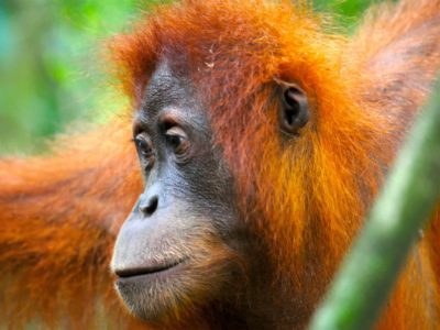 FEMALE ORANGUTAN - JUNGLE TREKKING - SUMATRA ECOTRAVEL - BUKIT LAWANG