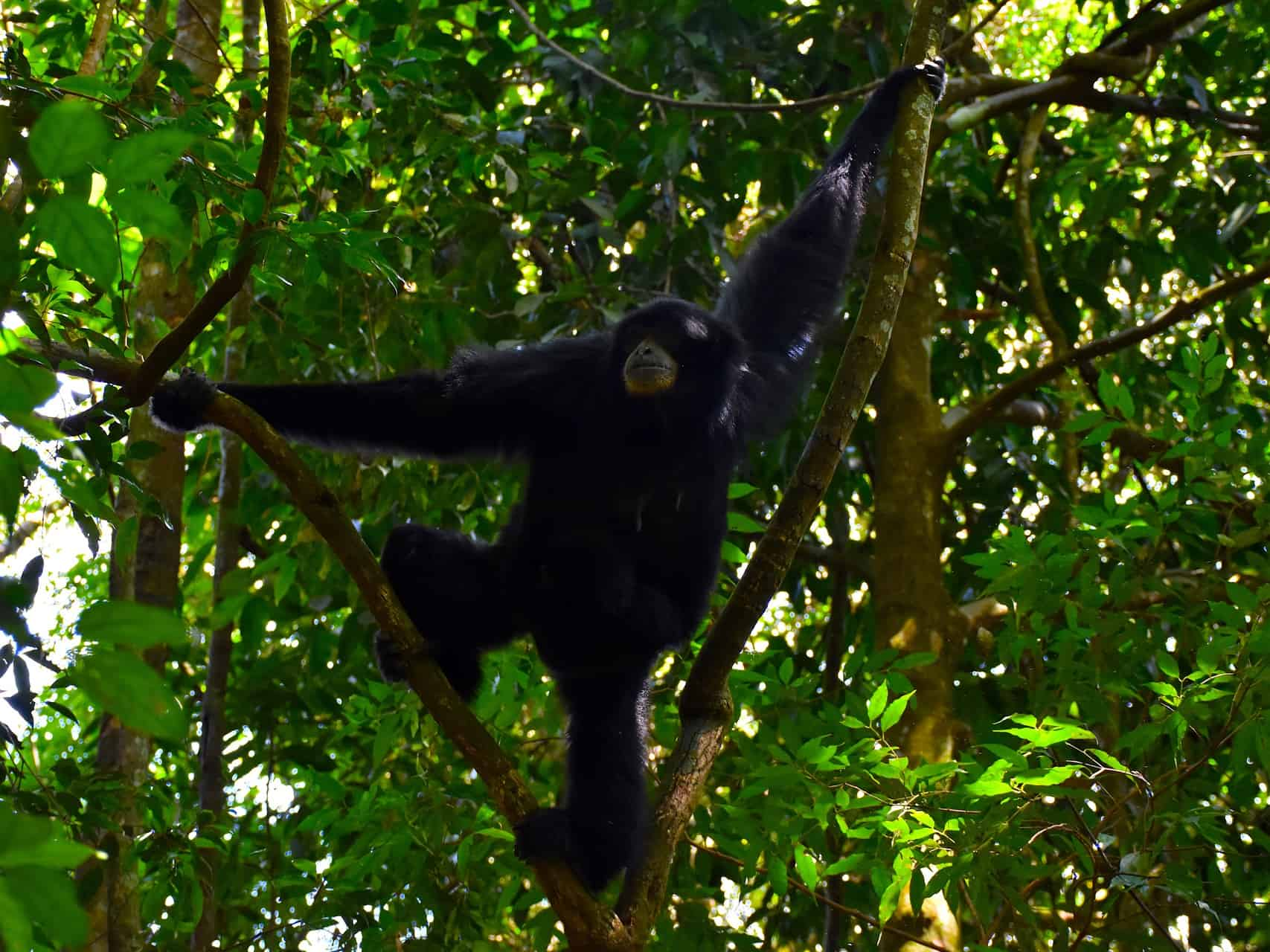 BLACK GIBBON - JUNGLE TREKKING - SUMATRA ECOTRAVEL