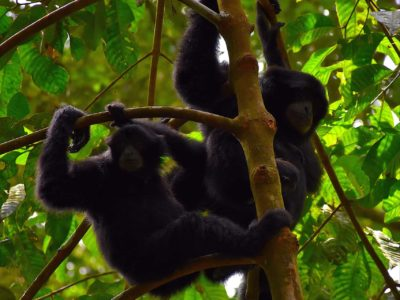 BLACK GIBBONS - JUNGLE TREKKING - SUMATRA ECOTRAVEL - BUKIT LAWANG
