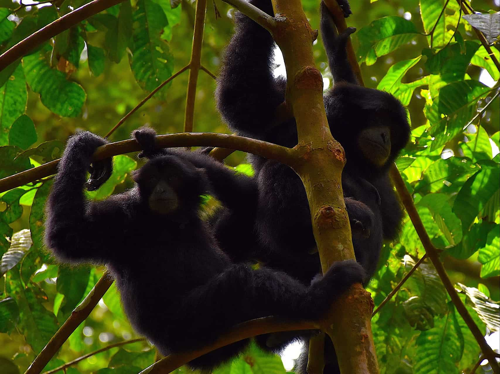 BLACK GIBBONS IN GUNUNG LEUSER NATIONAL PARK - BUKIT LAWANG JUNGLE TREKKING BY SUMATRA ECOTRAVEL