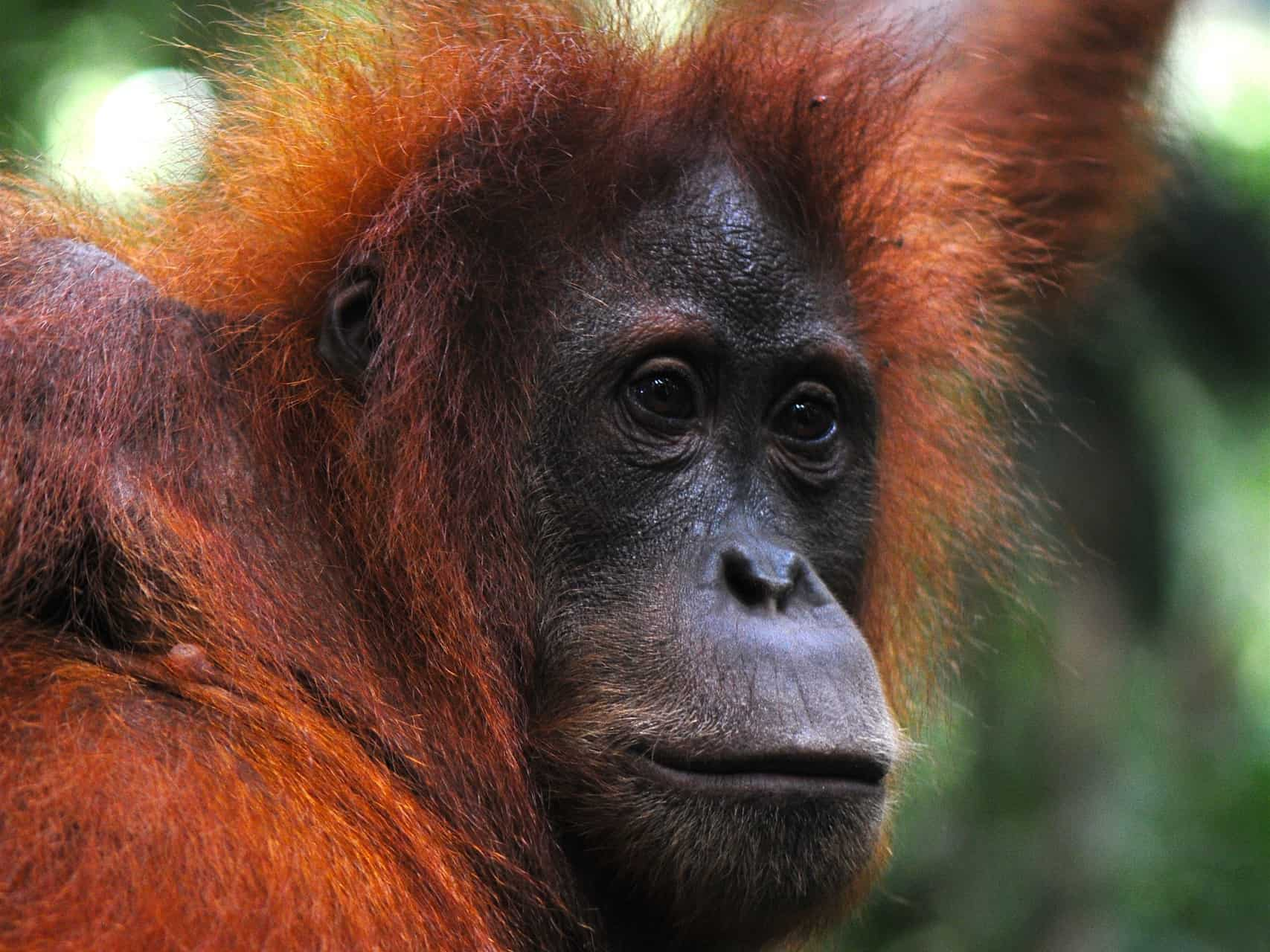 SUMATRAN ORANGUTAN IN GUNUNG LEUSER NATIONAL PARK - BUKIT LAWANG JUNGLE TREKKING BY SUMATRA ECOTRAVEL