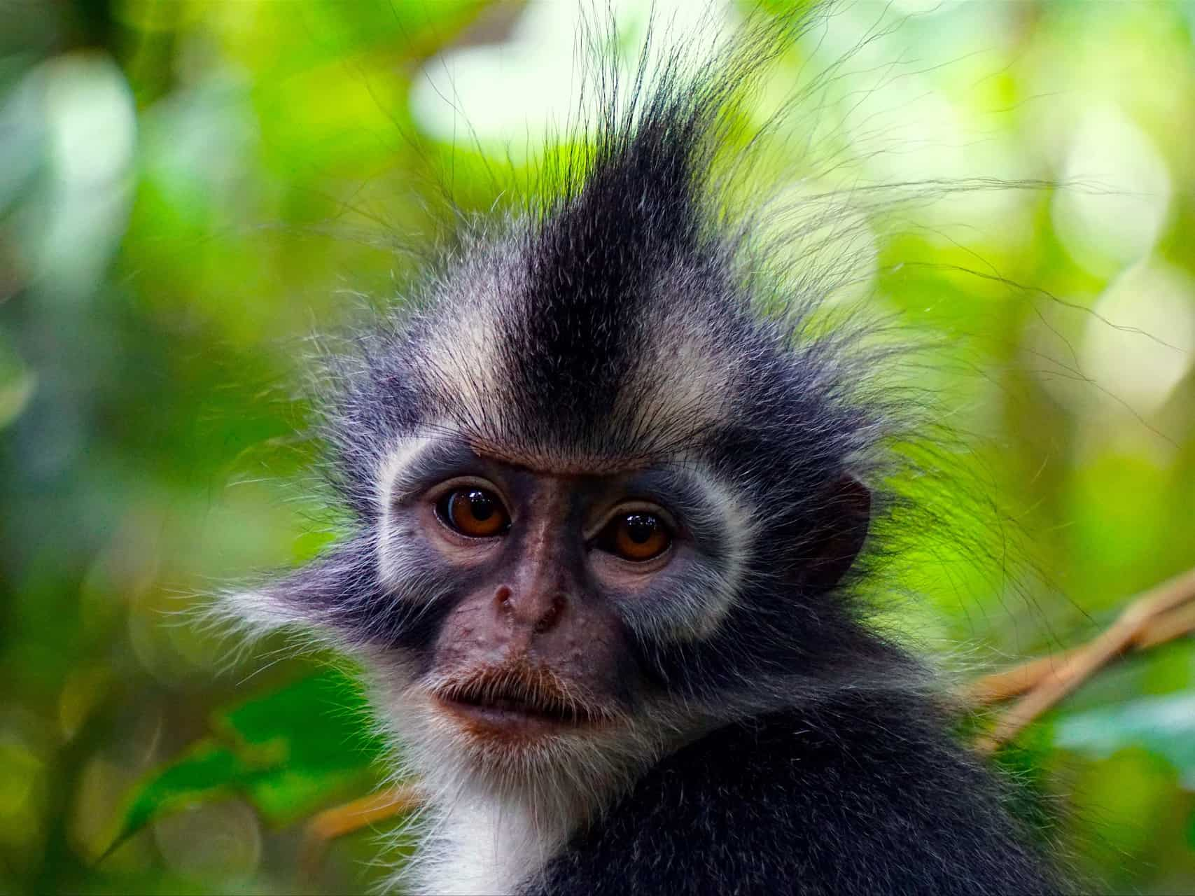 THOMAS LEAF MONKEY - BUKIT LAWANG JUNGLE TREKKING - SUMATRA HIGHLIGHT - SUMATRA ECOTRAVEL