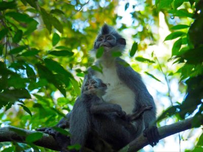 THOMAS LEAF MONKEYS - JUNGLE TREKKING - SUMATRA ECOTRAVEL - BUKIT LAWANG