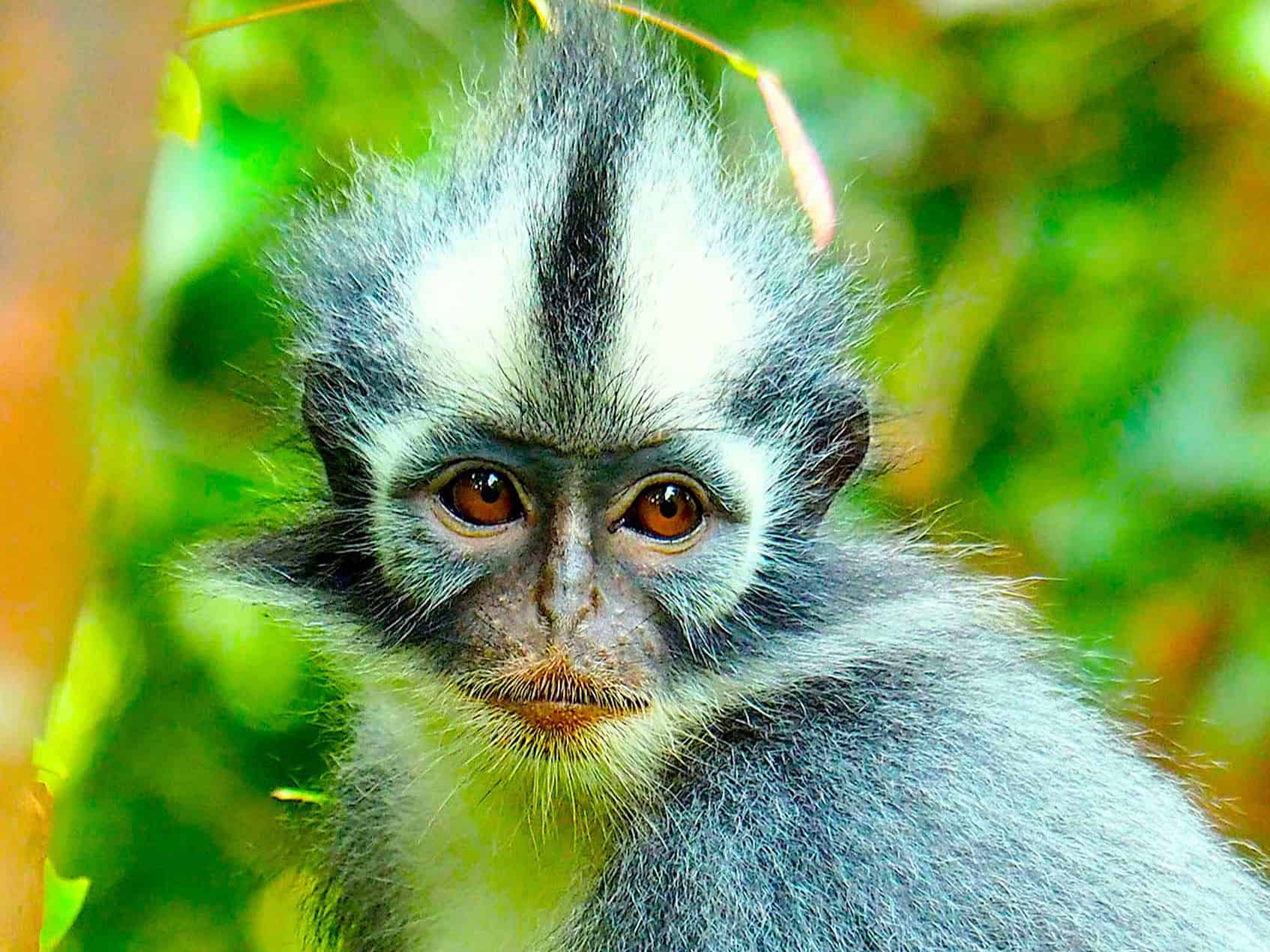 THOMAS LEAF MONKEY IN BUKIT LAWANG - JUNGLE TREKKING IN GUNUG LEUSER NATIONAL PARK BY SUMATRA ECOTRAVEL