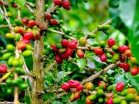 SUMATRA COFFEE - LAKE TOBA - SUMATRA ECOTRAVEL