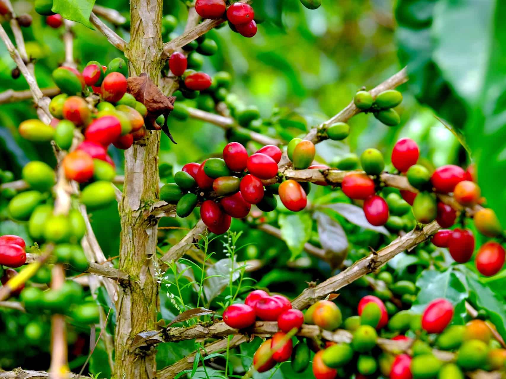 SUMATRA COFFE AT LAKE TOBA - SUMATRA HIGHLIGHTS BY SUMATRA ECOTRAVEL
