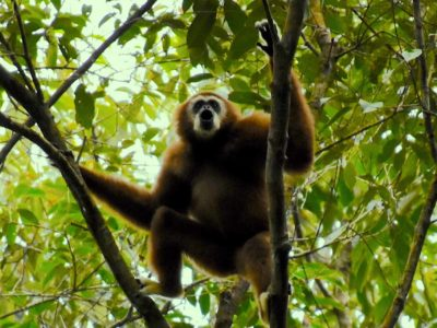 WHITE HANDED GIBBON - JUNGLE TREKKING - SUMATRA ECOTRAVEL