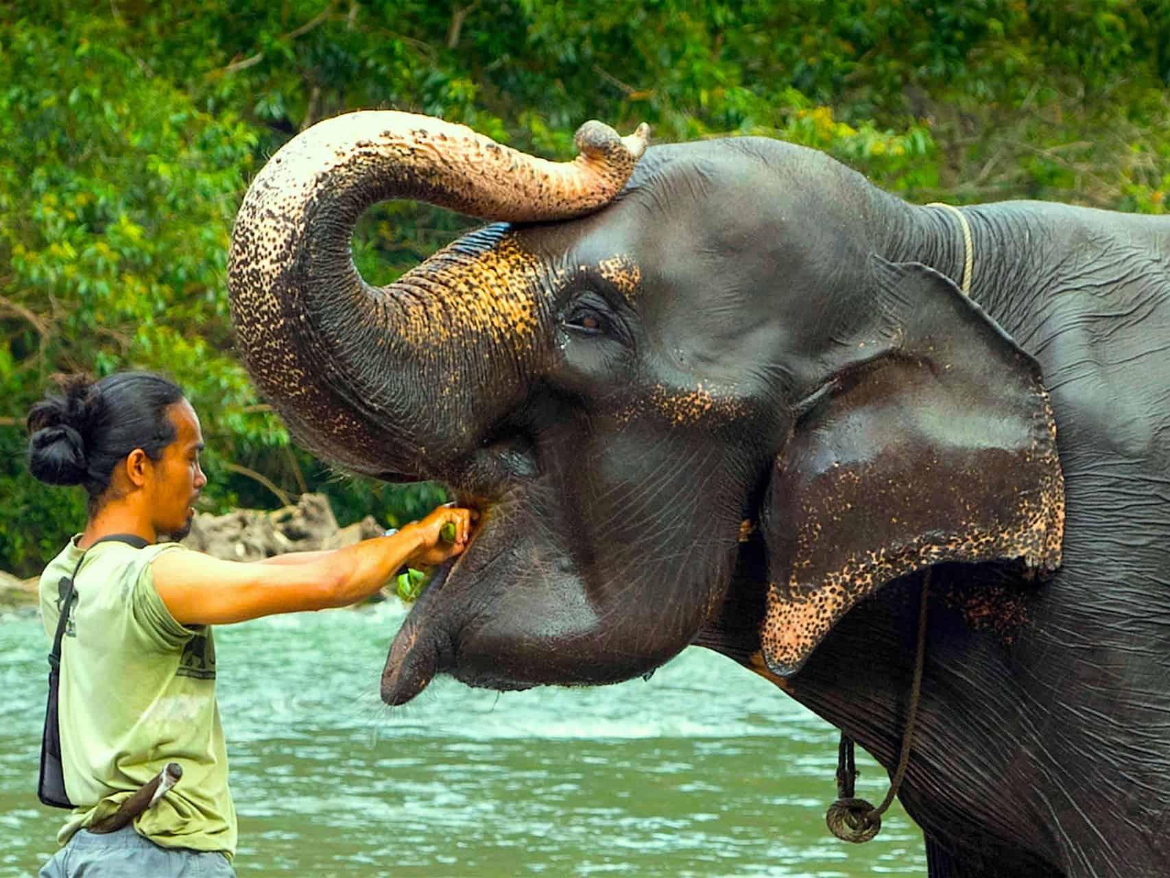 SUMATRAN ELEPHANTS - ELEPHANT AND MAHOUT IN TANGKAHAN