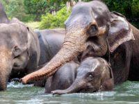 ELEPHANTS - SUMATRA ECOTRAVEL