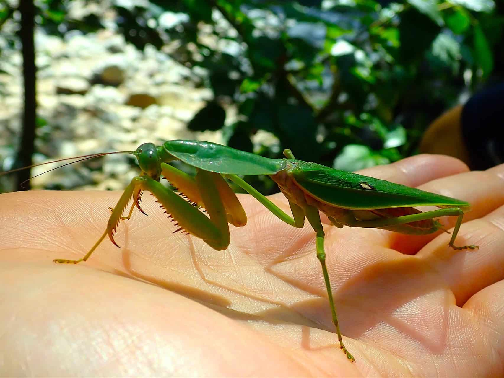 GRASHOPPER IN GUNUNG LEUSER NATIONAL PARK - BUKIT LAWANG JUNGLE TREKKING BY SUMATRA ECOTRAVEL