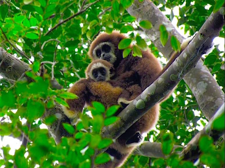 WHITE HANDED GIBBONS IN GUNUNG LEUSER NATIONAL PARK - BUKIT LAWANG JUNGLE TREKKING BY SUMATRA ECOTRAVEL