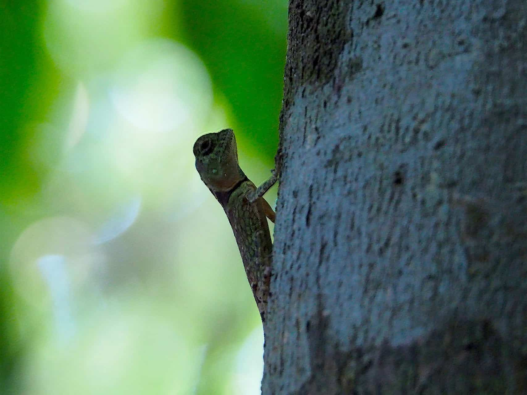 LIZARD - GUNUNG LEUSER NATIONAL PARK - BUKIT LAWANG JUNGLE TREKKING BY SUMATRA ECOTRAVEL