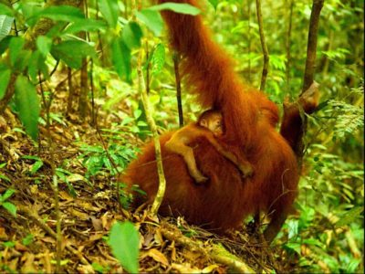 ORANGUTAN MUM WITH BABY - JUNGLE TREKK8ING - BUKIT LAWANG - SUMATRA ECOTRAVEL