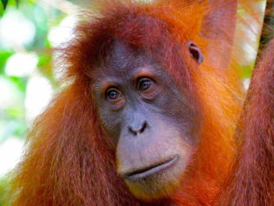 FEMALE ORANGUTAN - JUNGLE TREKKING - BUKIT LAWANG - SUMATRA ECOTRAVEL