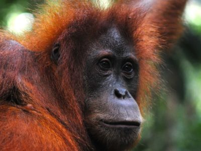 FEMALE ORANGUTAN - JUNGLE TREKKING - SUMATRA ECOTRAVEL