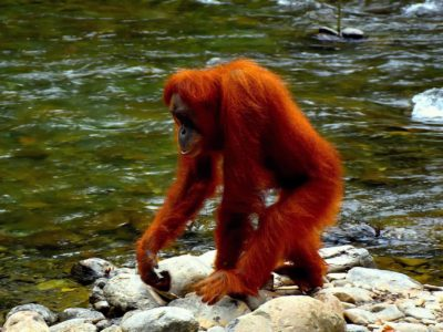 JUNGLE TREKKING - BUKIT LAWANG - SUMATRA ECOTRAVEL