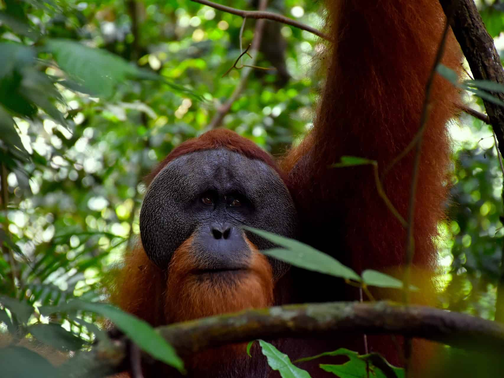 MALE ORANGUTAN AT A 1-DAY TREK - BUKIT LAWANG JUNGLE TREKKING - SUMATRA ECOTRAVEL