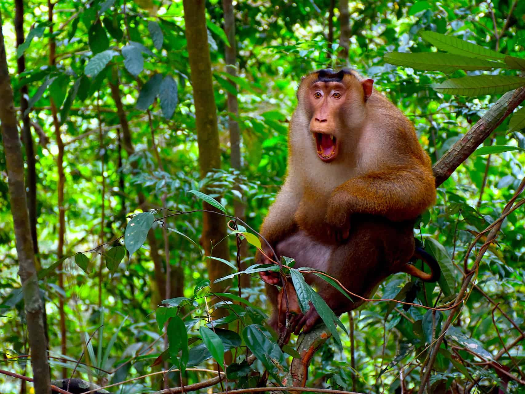 PIGTAIL MACAQUE IN GUNUNG LEUSER NATIONAL PARK - BUKIT LAWANG JUNGLE TREKKING BY SUMATRA ECOTRAVEL