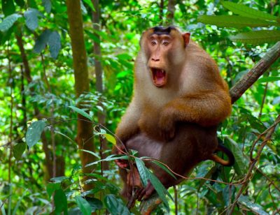 PICTAIL MACAQUE - JUNGLE TREKKING - BUKIT LAWANG - SUMATRA ECOTRAVEL