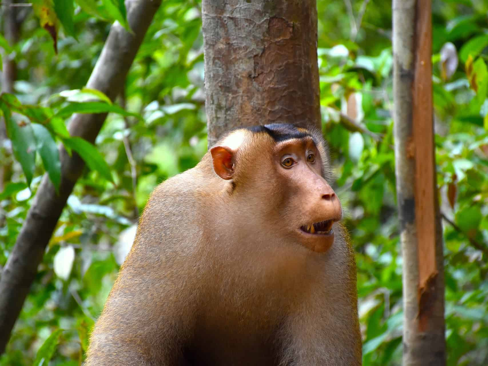 PIGTAIL MACAQUE - JUNGLE TREKKING - SUMATRA ECOTRAVEL