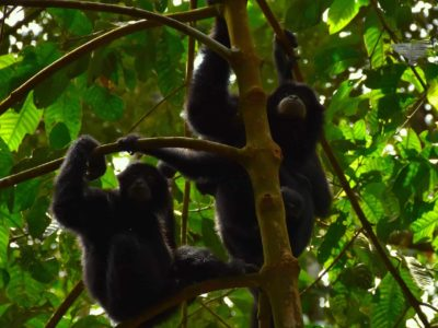 BLACK GIBBONS - JUNGLE TREKKING - SUMATRA ECOTRAVEL