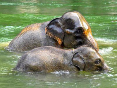 SUMATRA ELEPHANTS - TANGKAHAN - SUMATRA ECOTRAVEL