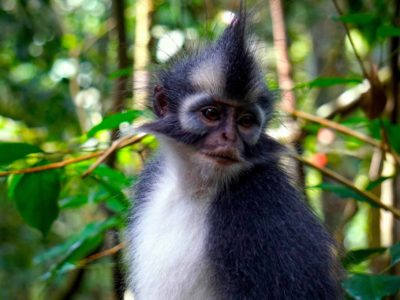 THOMAS LEAF MONKEY - JUNGLE TREKKING - BUKIT LAWANG - SUMATRA ECOTRAVEL