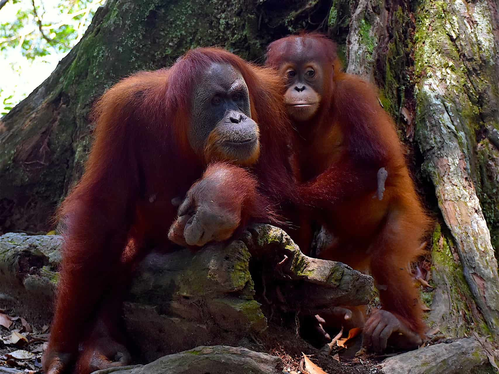 SUMATRAN ORANGUTAN FAMILY IN GUNUNG LEUSER NATIONAL PARK - BUKIT LAWANG JUNGLE TREKKING BY SUMATRA ECOTRAVEL