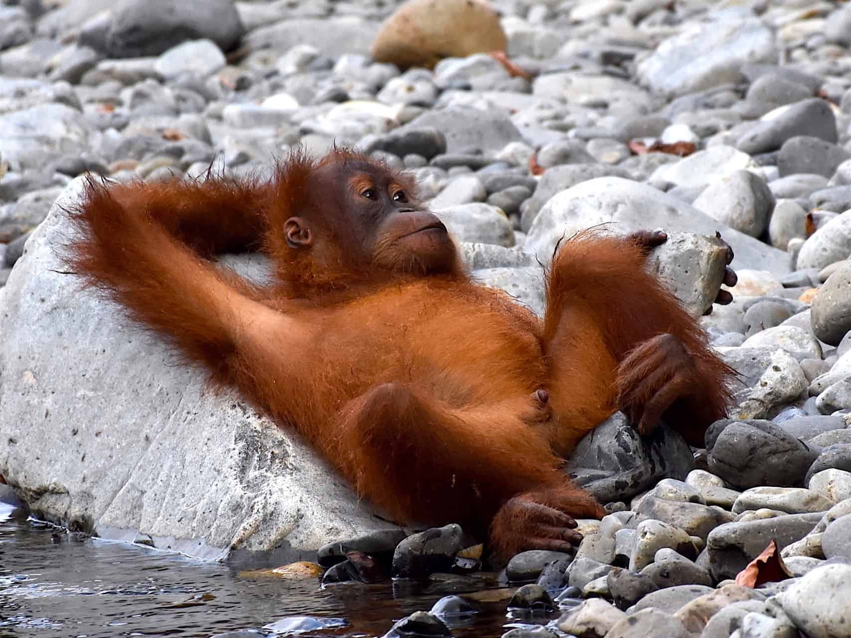 SUMATRAN ORANGUTAN BABY - JUNGLE BOOK - BUKIT LAWANG JUNGLE TREKKING BY SUMATRA ECOTRAVEL