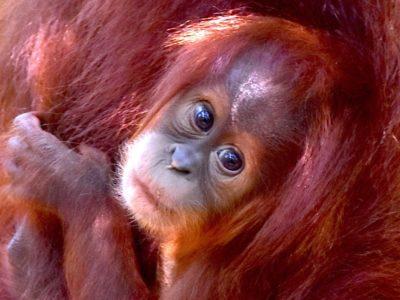 Orangutan Baby - EcoTravel Bukit Lawang
